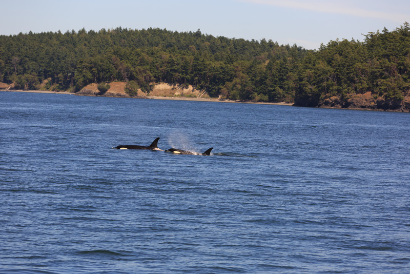 2013_06_04 Orcas Whale Watching 233