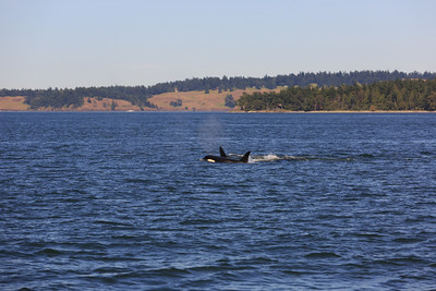 2013_06_04 Orcas Whale Watching 448
