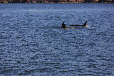 2013_06_04 Orcas Whale Watching 190