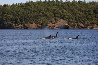 2013_06_04 Orcas Whale Watching 376