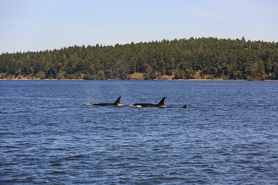 2013_06_04 Orcas Whale Watching 419
