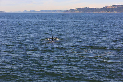 2013_06_04 Orcas Whale Watching 360