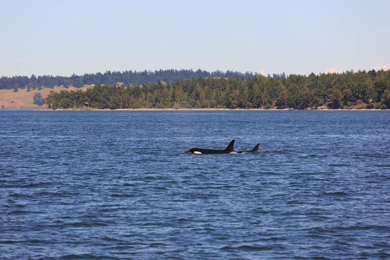 2013_06_04 Orcas Whale Watching 437