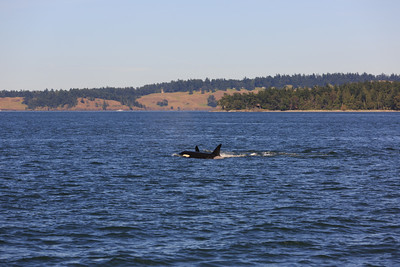2013_06_04 Orcas Whale Watching 449