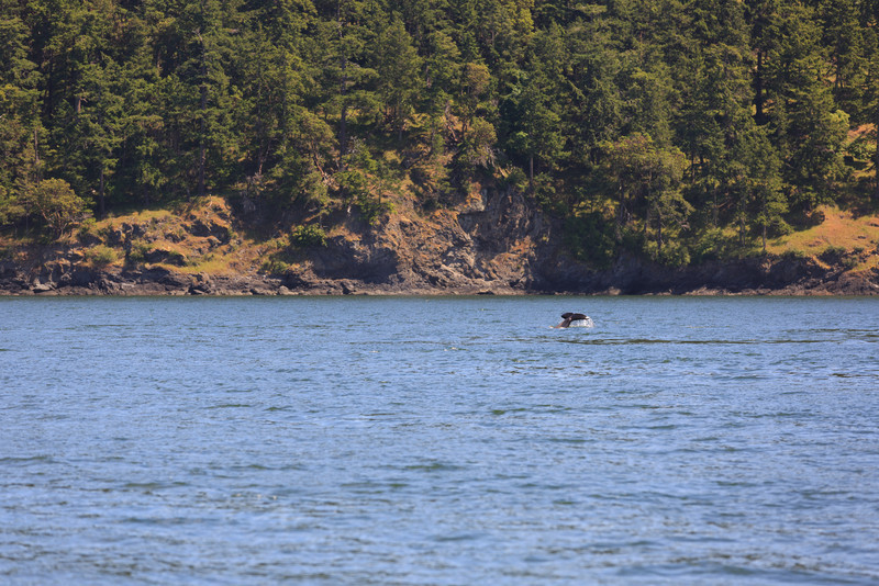 2013_06_04 Orcas Whale Watching 151