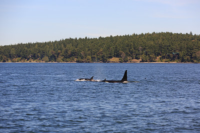 2013_06_04 Orcas Whale Watching 424