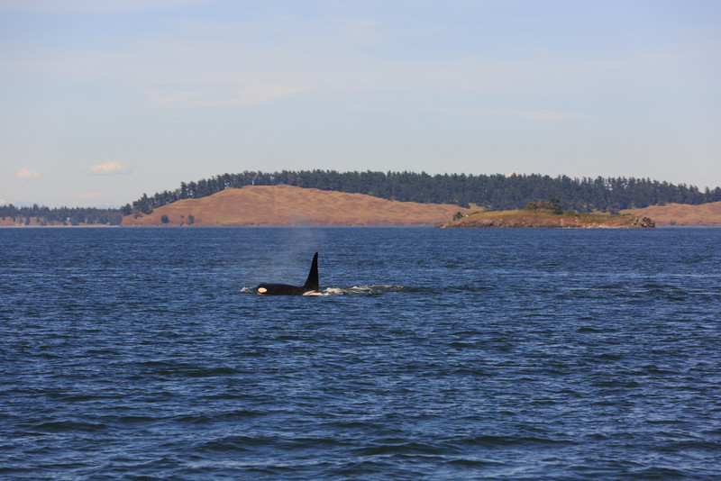 2013_06_04 Orcas Whale Watching 475