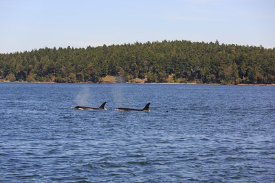 2013_06_04 Orcas Whale Watching 417
