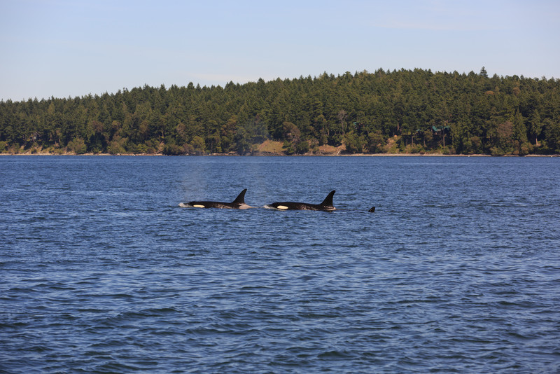 2013_06_04 Orcas Whale Watching 418