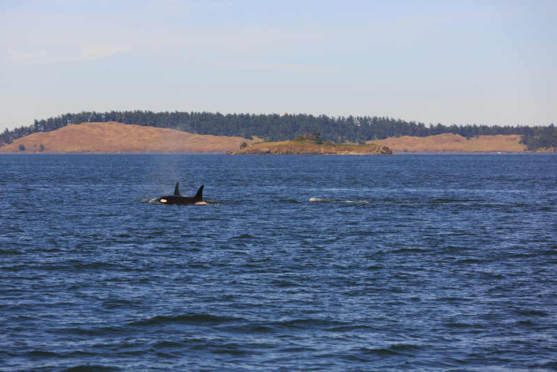 2013_06_04 Orcas Whale Watching 470