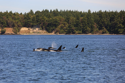 2013_06_04 Orcas Whale Watching 397