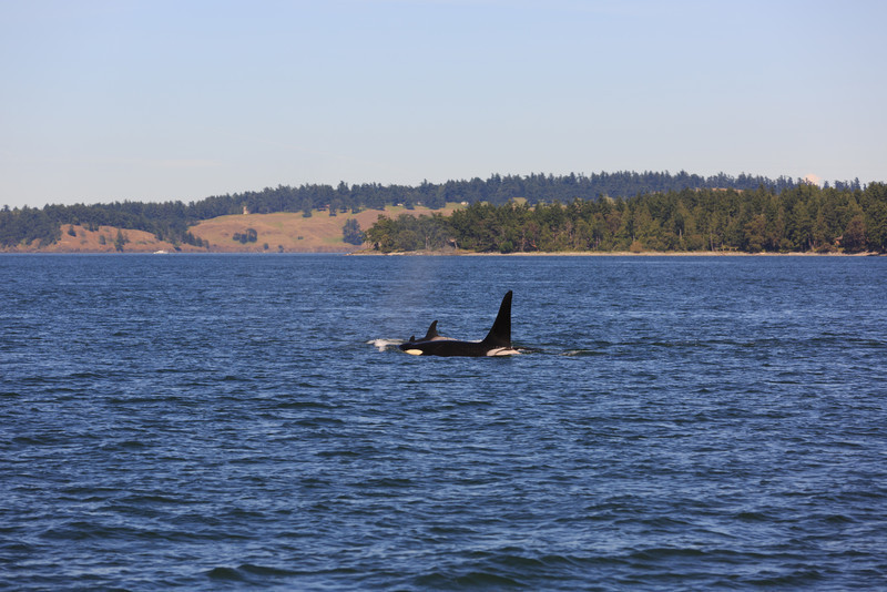 2013_06_04 Orcas Whale Watching 444