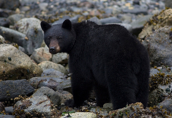 a black bear hunting for clams in Telegraph Cove on Vancouver Island near Campbell River British Columbia, Canada