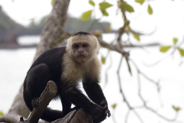 A wild capuchin monkey - capuchin monkey family<br /> <br /> Capuchins live together in groups of six to 40 members. These groups consist of related females and their offspring, as well as several males. Usually groups are dominated by a single male, who has primary rights to mate with the females of the group. Mutual grooming as well as vocalization serves as communication and stabilization of the group dynamics. These primates are territorial animals, distinctly marking a central area of their territory with urine and defending it against intruders, though outer zones of these areas may overlap.<br /> <br /> Females bear young every two years following a 160 to 180 day gestation. The young cling to their mother's chest until they are larger, when they move to her back. Adult male capuchins rarely take part in caring for the young. Within four years for females and eight years for males, juveniles become fully mature. In captivity, individuals have reached an age of 45 years, although life expectancy in nature is only 15 to 25 years.