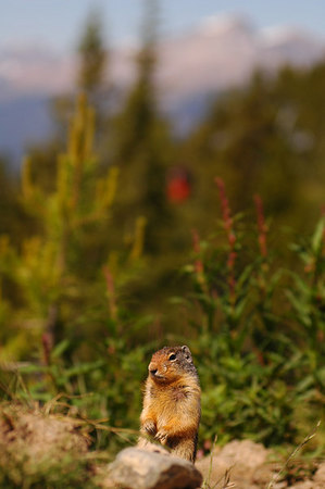 Columbian Ground Squirrel Rocky Mountains 23