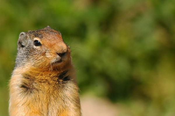 Columbian Ground Squirrel 24
