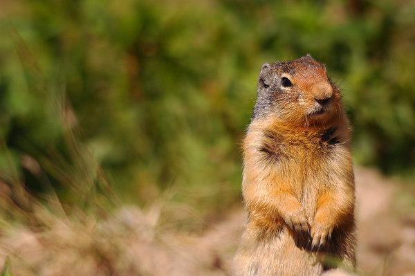 Columbian Ground Squirrel 14