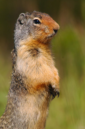 Columbian Ground Squirrel 3066