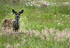 A white tailed deer fawn near Blenkensop Road in Victoria, British Columbia on the westcoast of Canada.