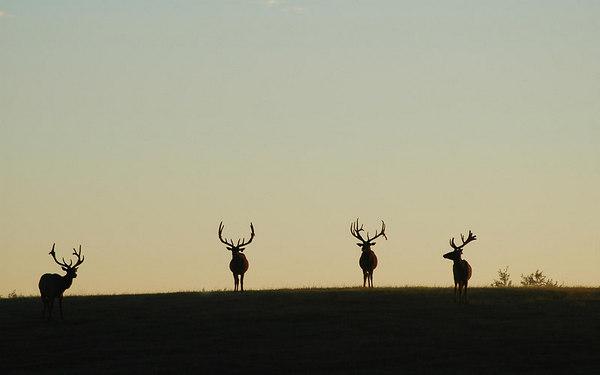Elk at sunrise