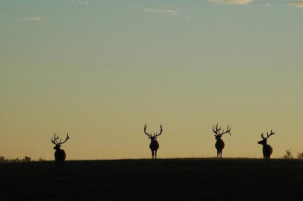 Elk at Sunrise Grazing 22