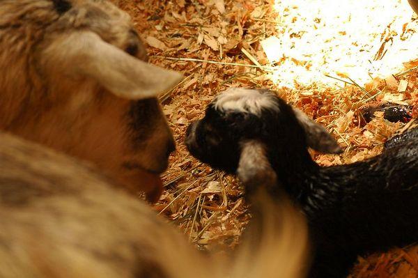Live Goat Birth 3462