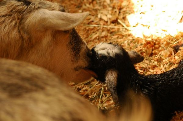 Live Goat Birth 3463