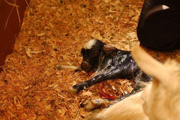 Live Goat Birth 3455