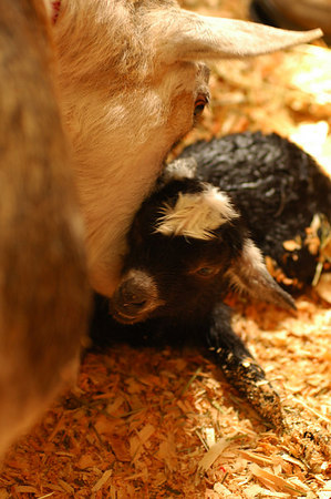 Live Goat Birth  3466