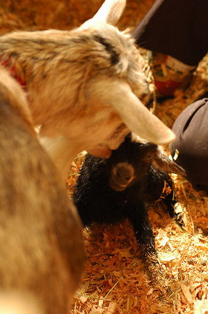 Live Goat Birth 3473