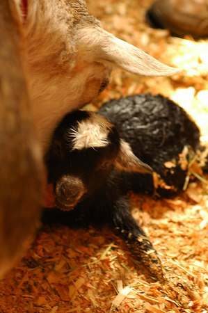 Live Goat Birth 3465