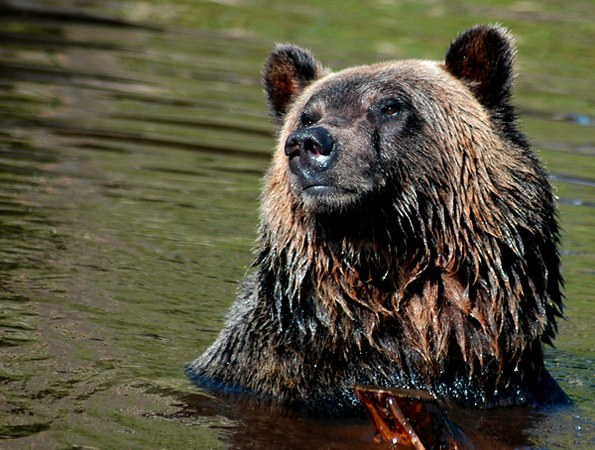 portrait of a grizzly 2
