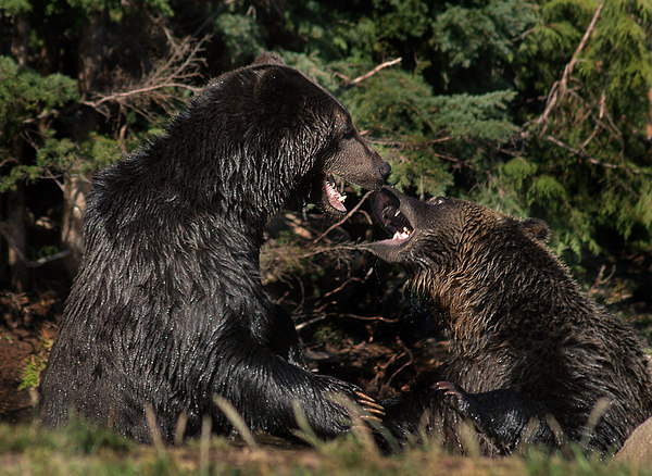 grizzly bear fight 2