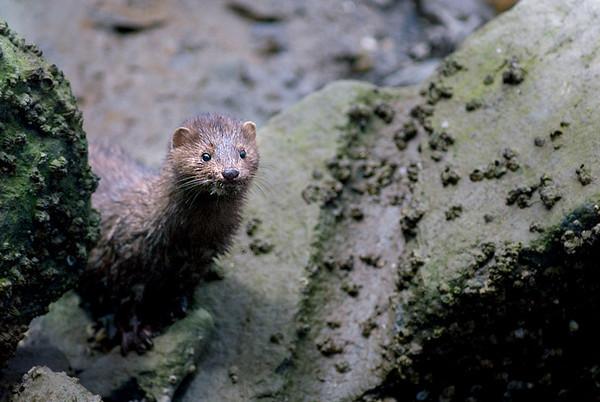 A wild mink animal on the coast