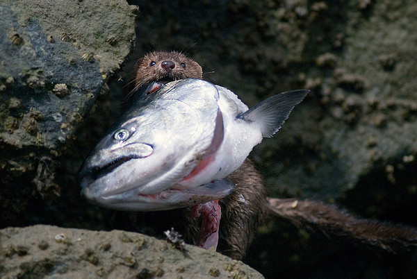 A small mink steals a fish head