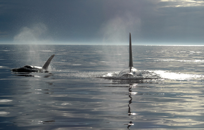 Two wild orcas come up for air as dusk falls on the Pacific