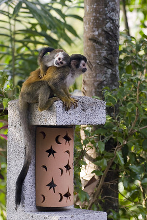mother and child mono titi - red backed squirrel monkey 6031