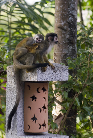 mother and child mono titi - red backed squirrel monkey 6034