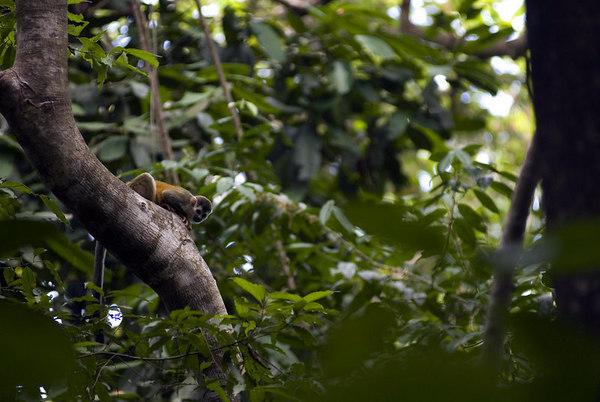 mono titi squirrel monkey tree 6981_1