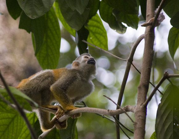 mother and child mono titi - red backed squirrel monkey curious 6119