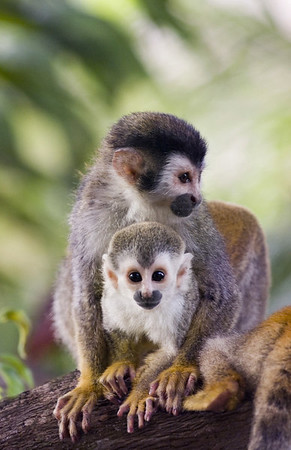 A red backed squirrel monkey with her baby (also called mono titi) at the Costa Verde Hotel in Costa Rica, Central America. These monkeys are rare and endangered with less than 1,000 left in the world.