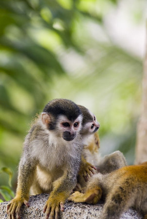 Mother and child mono titi - red backed squirrel monkey 6015
