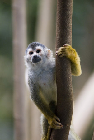 Mono Titi - Red Backed Squirrel Monkey - 5820