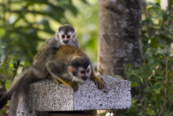 mother and child mono titi - red backed squirrel monkey 6048_1