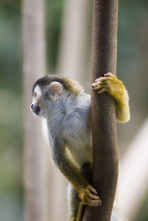 Mono Titi - Red Backed Squirrel Monkey - 5820_1