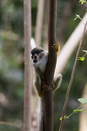 Mono Titi - Red Backed Squirrel Monkey - 5823
