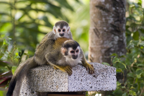 mother and child mono titi - red backed squirrel monkey 6049_10