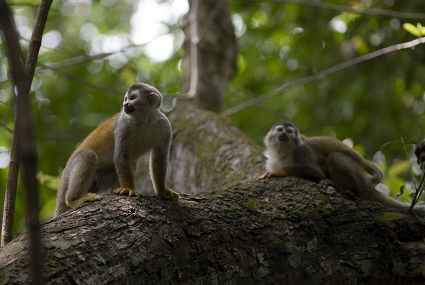 mother and child mono titi - red backed squirrel monkeys costa rica 6153