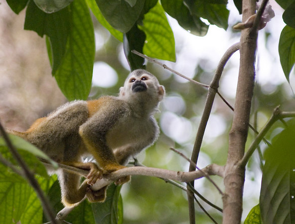 mother and child mono titi - red backed squirrel monkey costa rica 6122