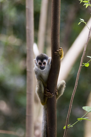 Mono Titi - Red Backed Squirrel Monkey - 5824